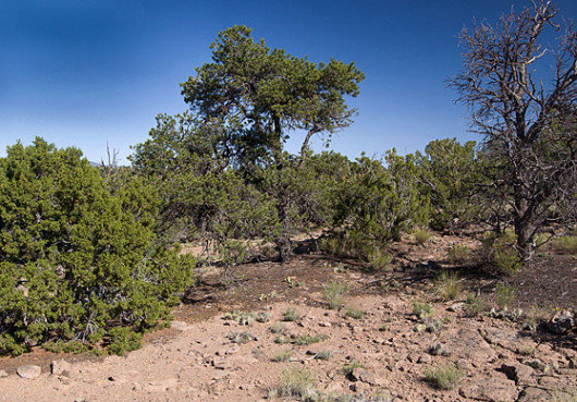 juniper and pinon pine